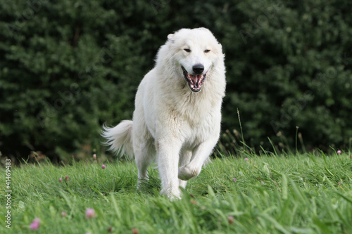 white and big dog running on the grass