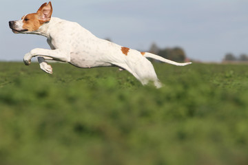 beautiful jump of the english pointer