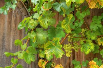 Weintrauben, Weinfass, Weinblätter, Weinbau, Herbst