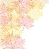 Fototapety Autumn macro leaf of maple. Vector bacground.