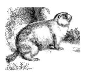 Marmotte - Murmeltier - Groundhog