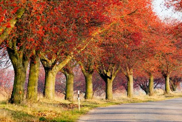 autumnal view of alley of chokeberry