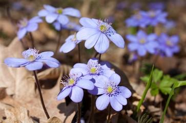flowers of hepatica nobilis