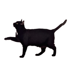 Black cat walking with paw up