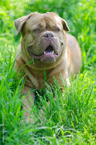 French Mastiff in summer meadow