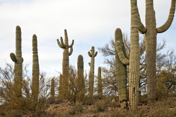 Saguaro Kaktus bei Tucson Arizona USA