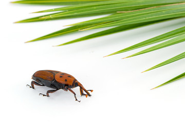 Red weevil insect