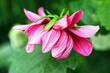 Beautiful deep pink Dalia, Dahlia