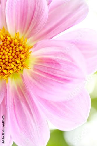 Beautiful light pink Dalia, Dahlia