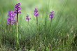 Wild orchid flowers in spring