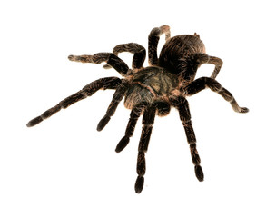 black curly-hair tarantula Brachypelma albopilosum isolated