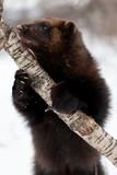 Wolverine eating meat