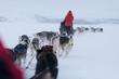 Husky dogsleds racing
