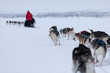 Husky dogs racing in Norway