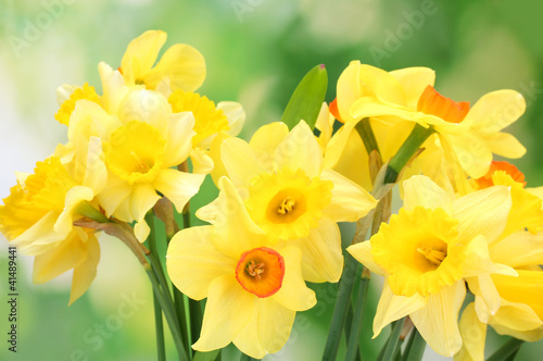 Plexiglas Narcis beautiful yellow daffodils on green background