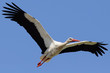 Stork Flying in the Sky with Wings Spread