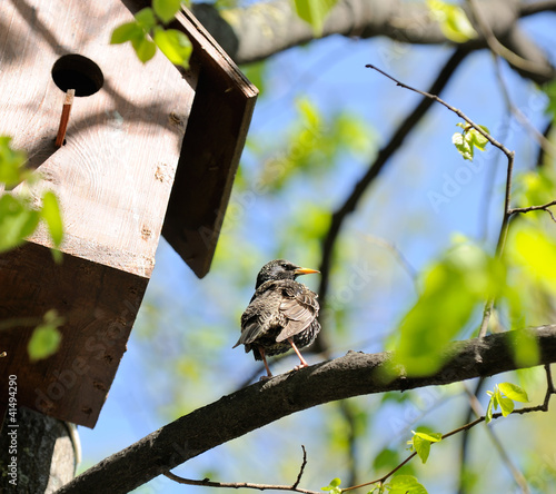 Starling Sitting on Tree near Birdhouse