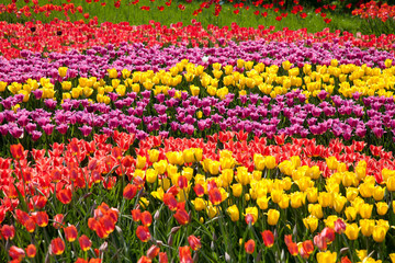 Stripes made with tulips