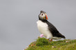 Puffin standing on a cliif in strong wind