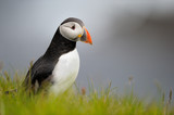 Puffin standing in grass on a cliff