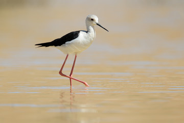 Black-winged Stilt walking in water.