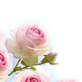 pink rose over blue white background