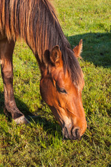 Portrait of an eating brown horse