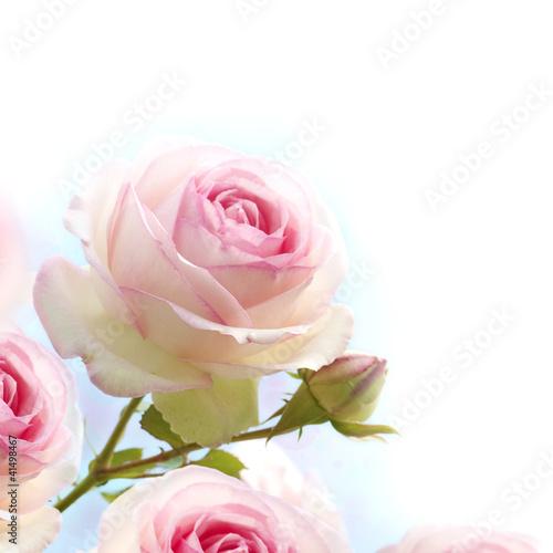 różowa róża na niebieskim tle