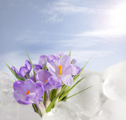 Spring and crocus