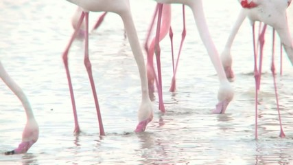 Group of Flamingo's foraging in water.