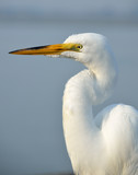 Great White Egret profile