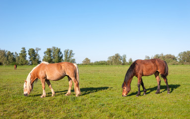 Grazing horses in a sunny meadow