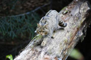 Wildkatze auf Baumstamm