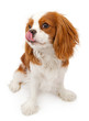 Cavalier King Charles Spaniel Dog Licking Lips