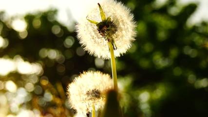 dandelions in the weeds
