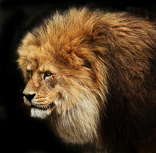 Portrait of a male lion isolated on black background