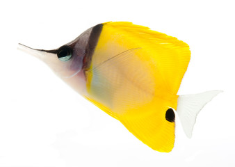 reef fish, marine fish, yellow longnose butterflyfish isolated