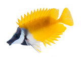 reef fish, foxface rabbitfish, isolated on white background