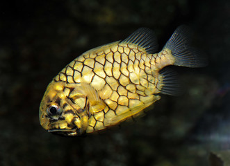 Pineapple Fish or Cleidopus gloriamaris