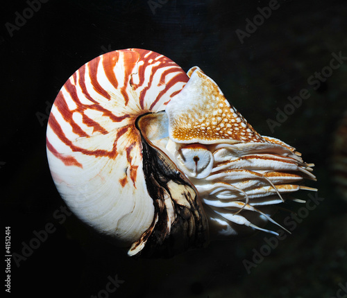 nautilus swimming, alive on black background