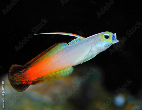 Firefish, Fire Goby or Fire Dartfish