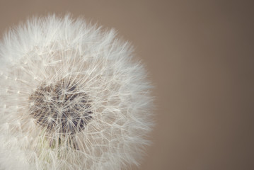 soft dandelion © stokkete