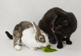 rabbit with black cat