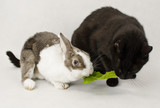 rabbit eats grass with black cat