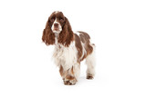Cocker Spaniel Dog Standing