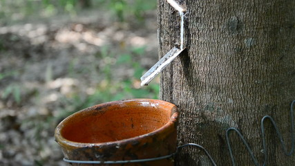 Latex of para rubber tree dropping into a cup