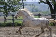 Lipizzaner stallion in run