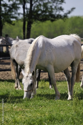 Pregnant Lipizzaner mare on pasture