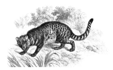 Civette - Viverridae