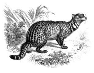 Civette- Viverridae